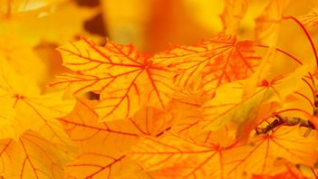 vibrant fall foliage of maple leaves that are bright yellow and orange