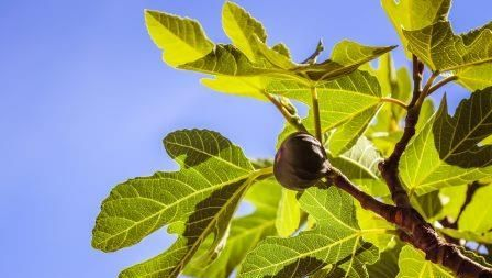 beautiful leaves and fruit of a fig tree on a blue background