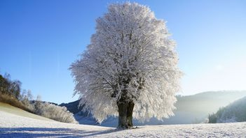 big beautiful deciduous tree covered in snow and ice after a storm