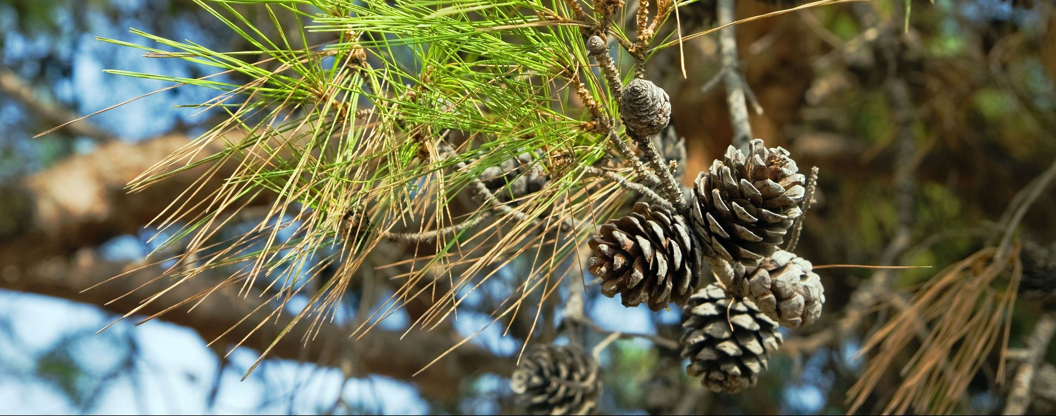 Very tall standing pine tree in Alberta with pine cones