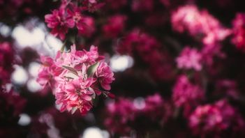 beautiful pink blossoms of a crabapple tree in edmonton during the spring time