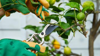 professional pruning young fruit tree in Edmonton