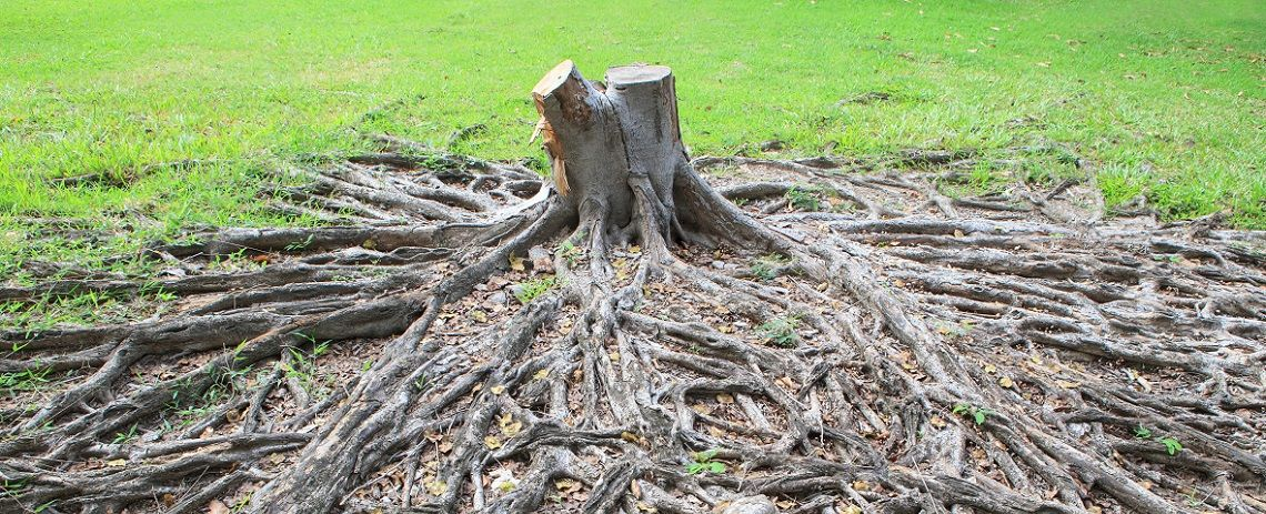 All_Season_Tree_Service-arborist-edmonton: overgrown tree roots and a tree stump