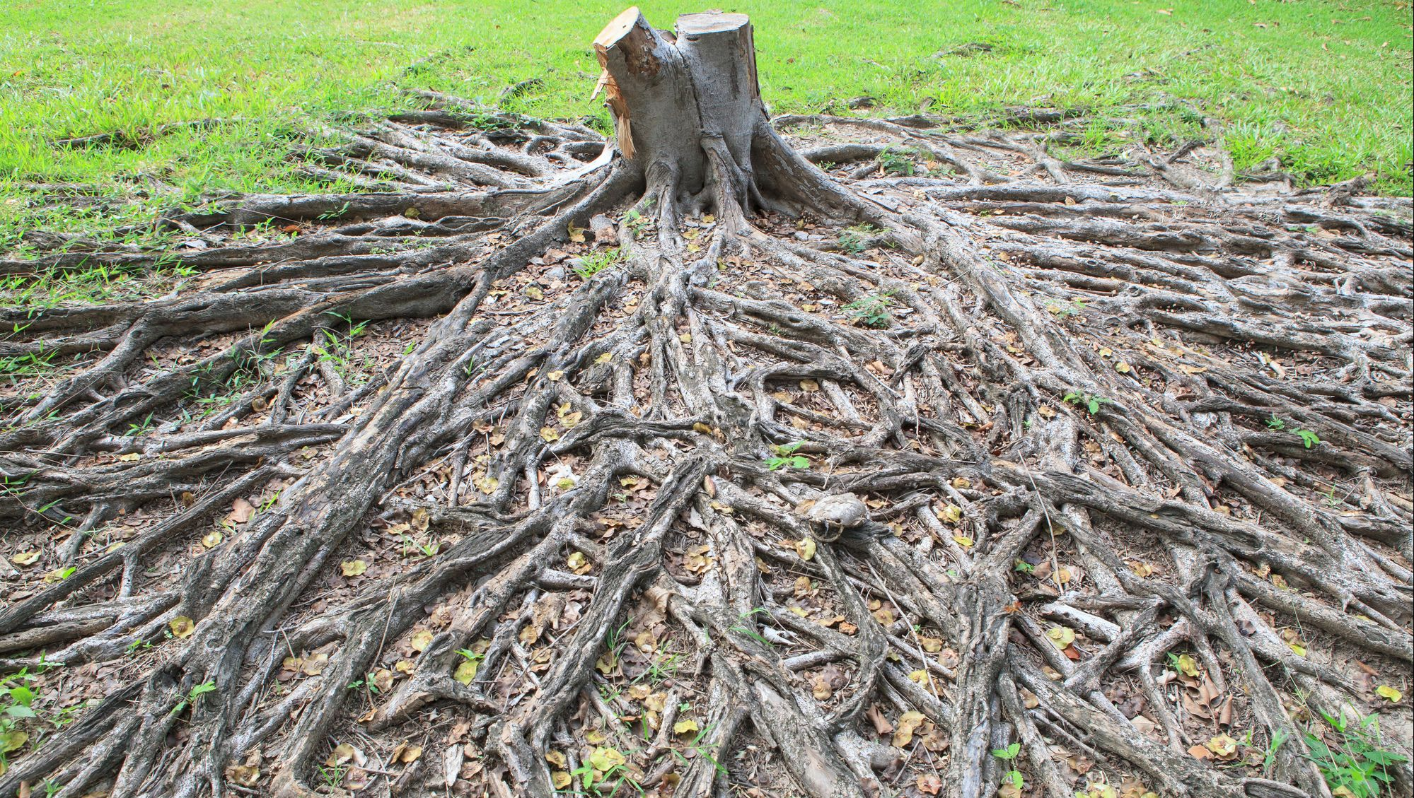 a large mass of tree roots