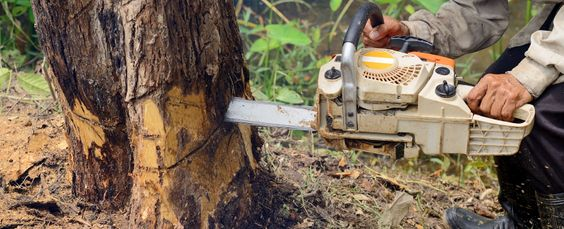 Chainsawing tree