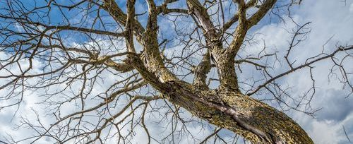 the long reaching branches of a sick bare tree in an edmonton yard