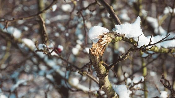 TYPES OF WINTER TREE DAMAGE COMMON IN EDMONTON